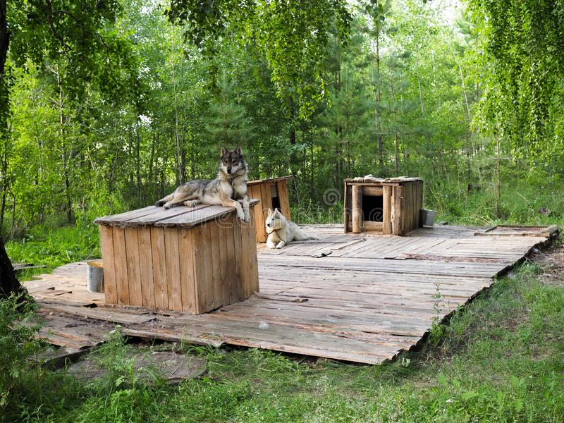 Husky lie about their booths in the nursery in the green forest.  stock image