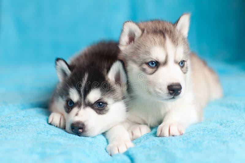 Två Husky valpar royaltyfria foton