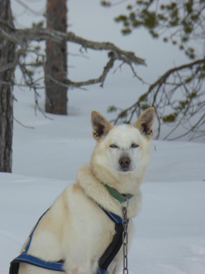 Husky looking at you stock photos