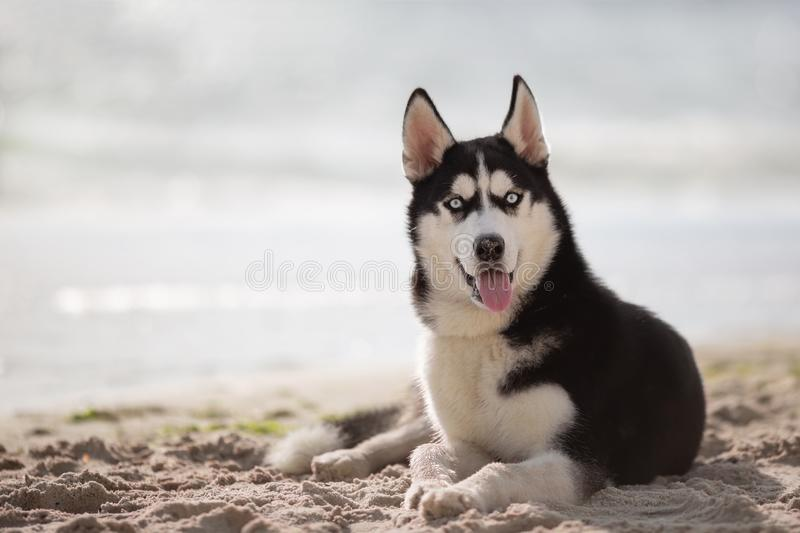Husky lovely funny dog close up portrait on the beach. Looks like very surprised royalty free stock image