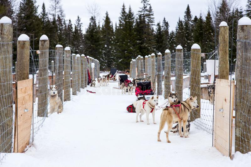 Husky and malamute cross-breed sled dogs waiting in snow covered corridor for the beginning of a race. Horizontal portrait of husky and malamute cross-breed sled royalty free stock photos
