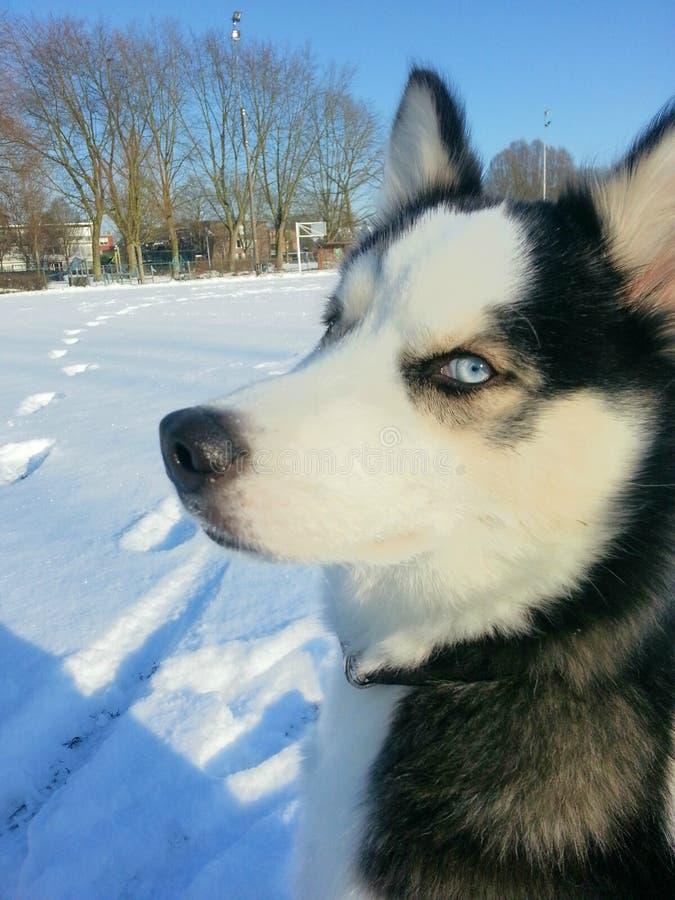 Husky Maya en nieve imagenes de archivo
