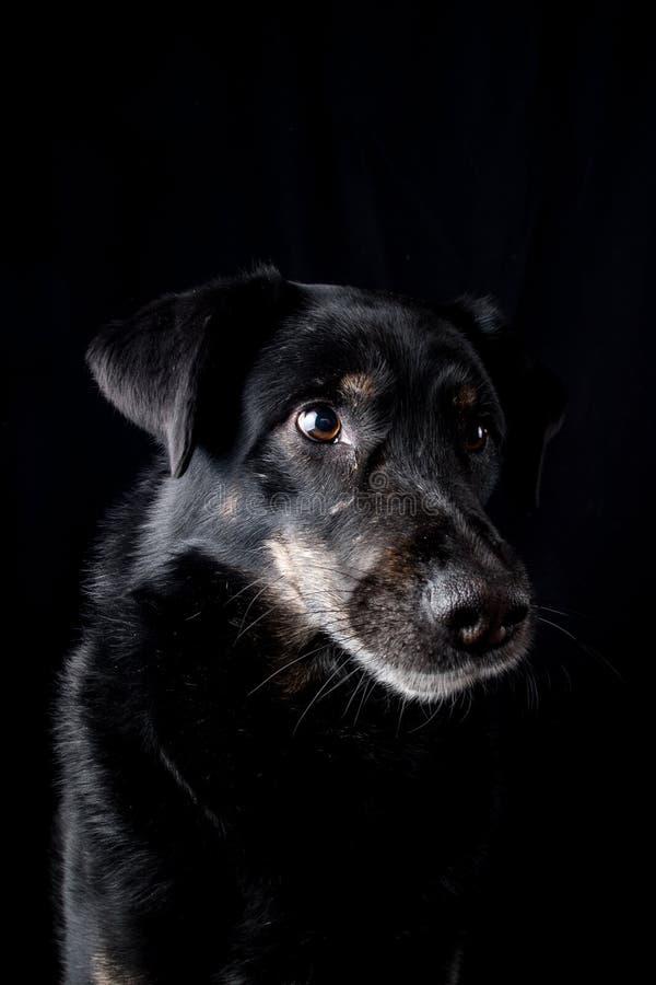Husky Mix royaltyfri fotografi