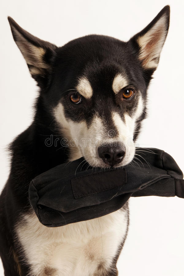Husky Mix Dog holding his treat bag stock images