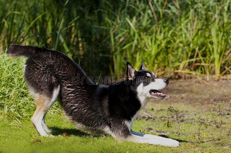 Husky Mix Dog spela royaltyfri fotografi