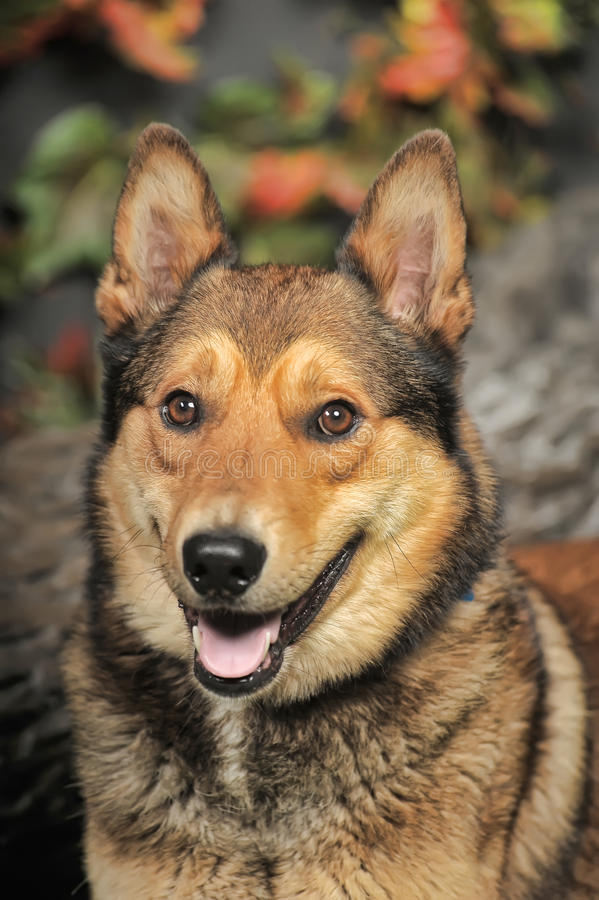 Husky mixed with a German Shepherd. Beautiful brown crossbreed dog Husky and Shepherd royalty free stock photography