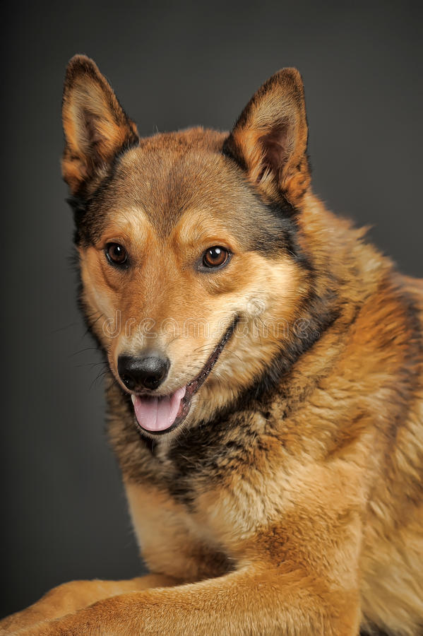Husky mixed with a German Shepherd. Beautiful brown crossbreed dog Husky and Shepherd stock images