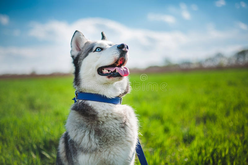 Husky royalty free stock images