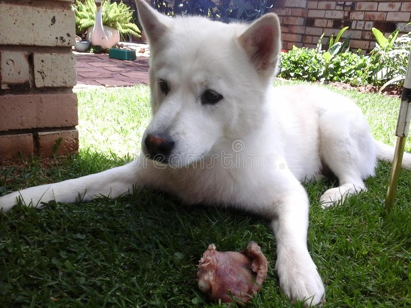 Husky nel modo di guardia che custodice il suo maiale-orecchio immagini stock