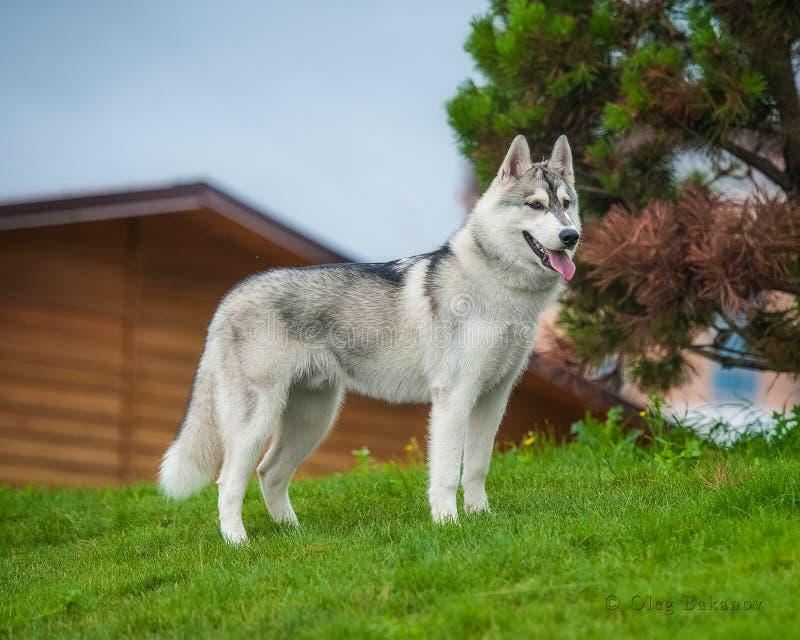 Husky nella grande città fotografie stock libere da diritti