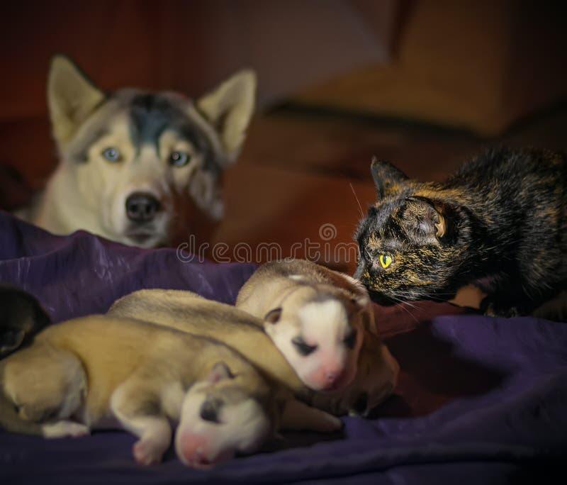 Husky neonato dei cuccioli del gatto multicolore che dorme su un letto sotto la tutela delle loro madri fotografia stock