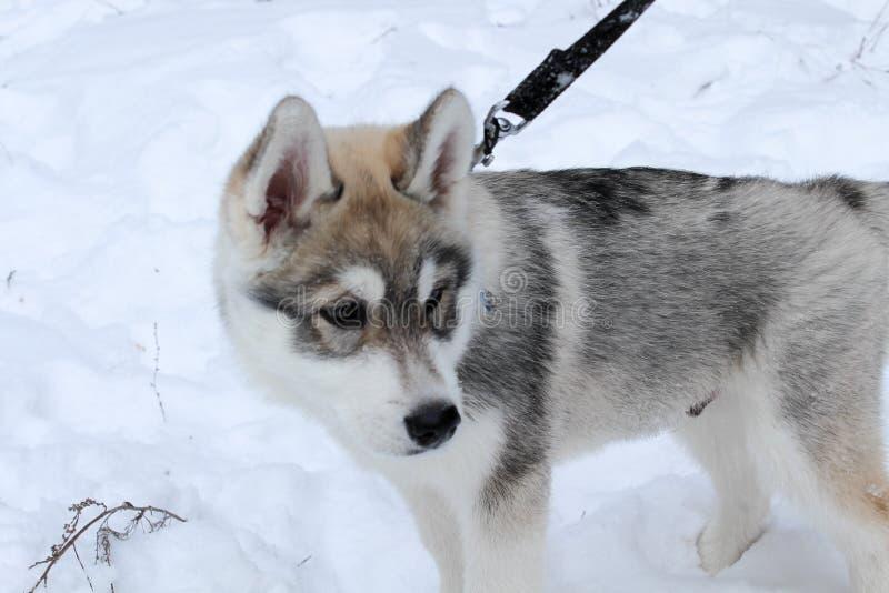 Husky& x27; o cão de s é jogado fotos de stock