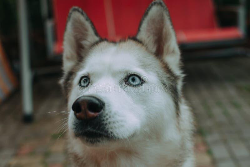 Husky pies enjoing Kwiecień fotografia stock