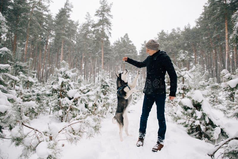 Husky pies pyta dla ciastek jego mistrza obraz royalty free