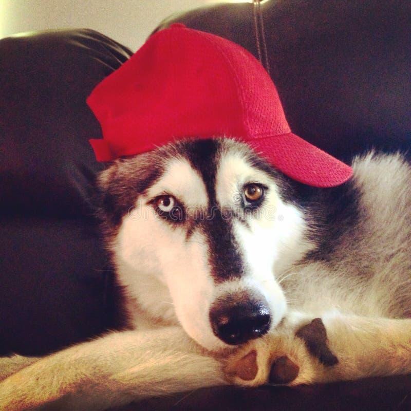 Husky pies w baseball nakrętce fotografia stock