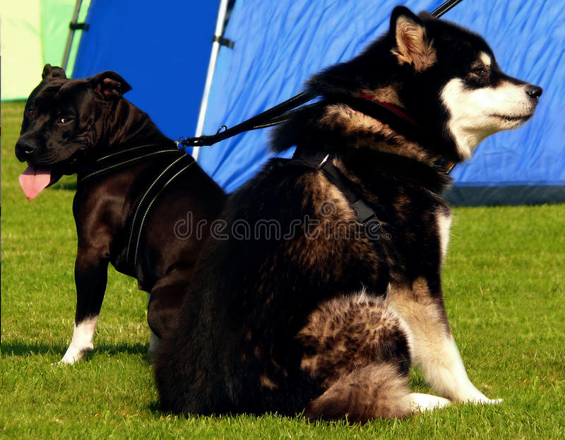 Download Husky and Pitbull stock image. Image of couple, black - 15016273