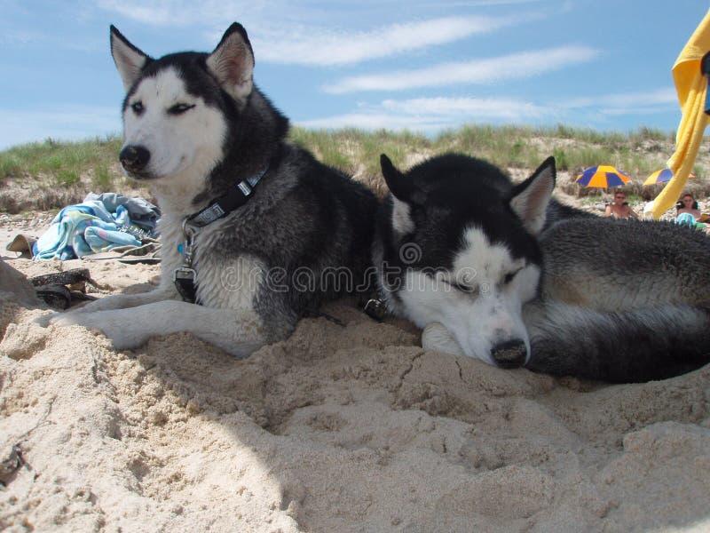 husky plażowy spać zdjęcie royalty free