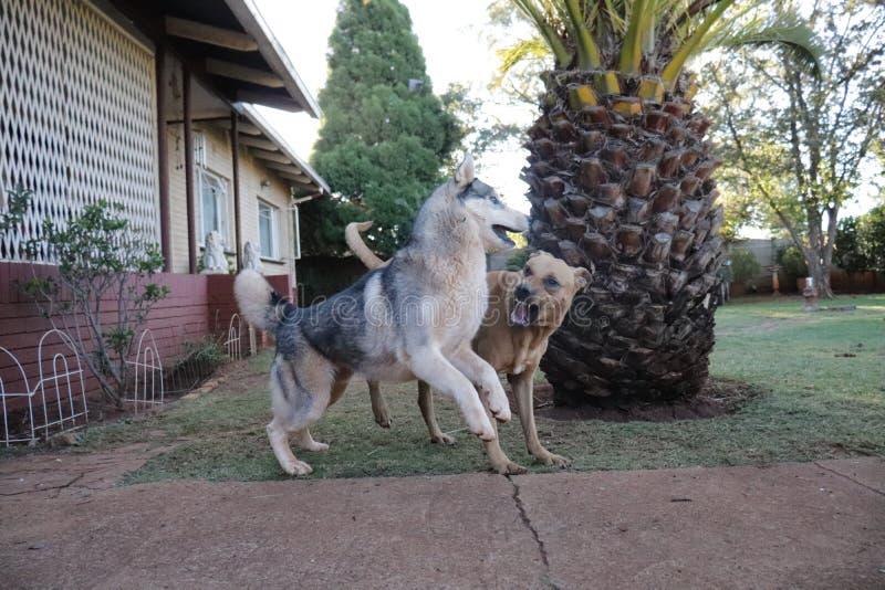 Husky Playtime With Rhodesian Ridgeback royaltyfri bild