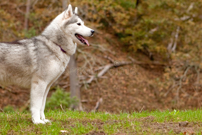 Husky profile. Profile of husky in the forest stock images