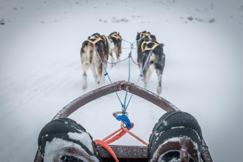 Husky psa sledding obraz royalty free