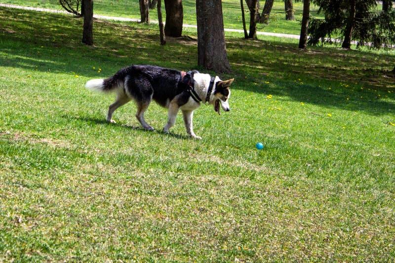 Husky psi bawić się z błękitną piłką fotografia stock