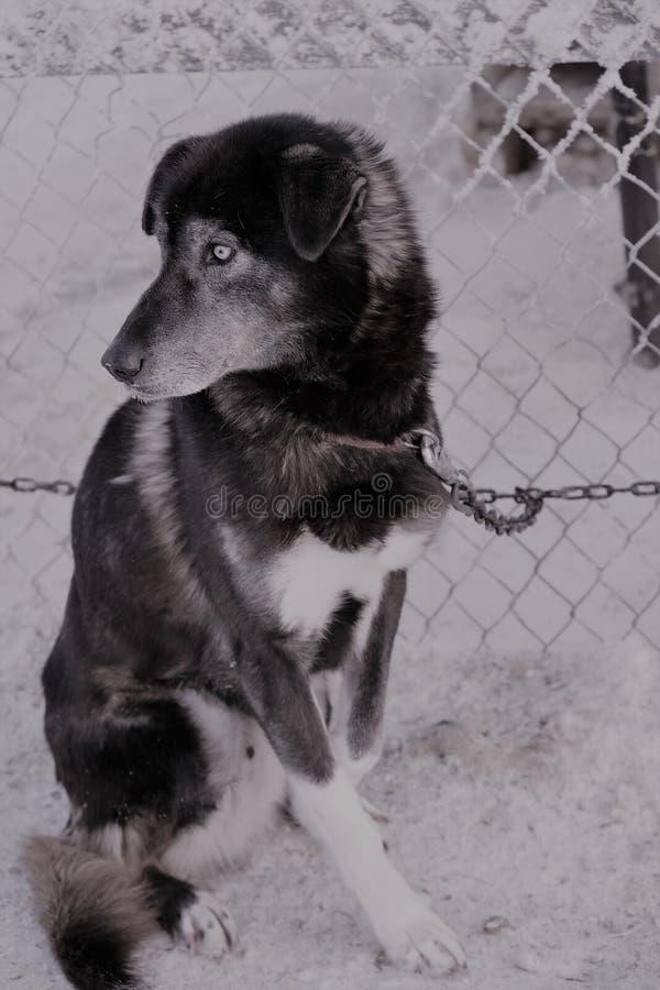 Husky psi sanie obrazy royalty free