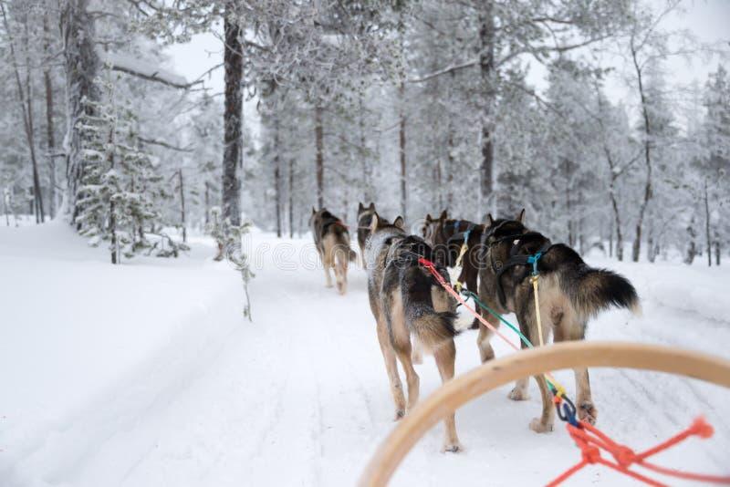 Husky psi sledding w Lapland Finlandia fotografia stock