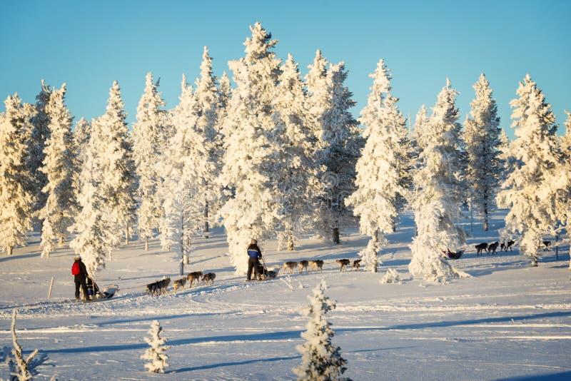 Husky psi sledding w Lapland Finlandia zdjęcie stock