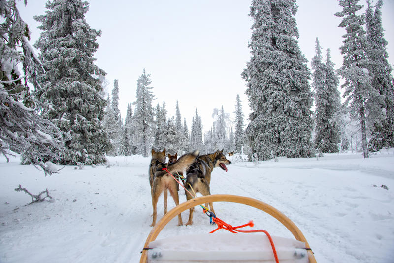 Husky psi sledding w Lapland Finlandia obraz royalty free