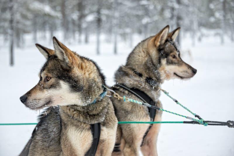 Husky psi zakończenie, Lapland Finlandia zdjęcia stock