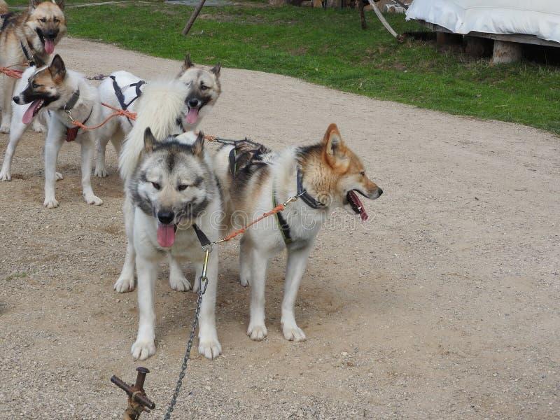 Husky psy w saniu w lecie w parku, słoneczny dzień zdjęcia royalty free