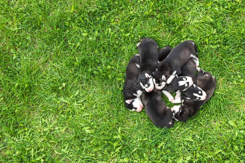 Husky Puppies neonato adorabile fotografie stock