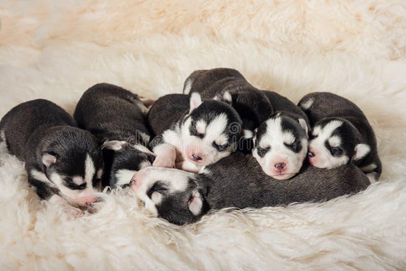 Husky Puppies neonato adorabile fotografia stock libera da diritti