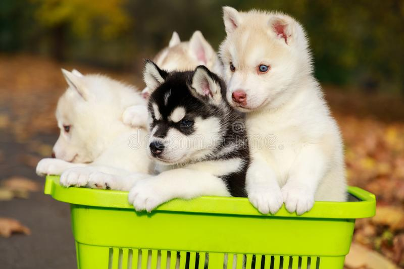 Husky puppies in the shopping basket in a park royalty free stock photos