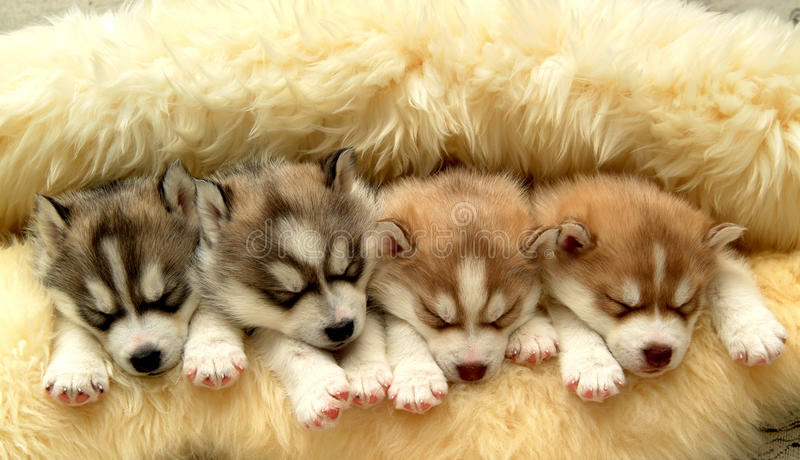 Husky puppy. A group of lovely Siberian husky puppy are sleeping