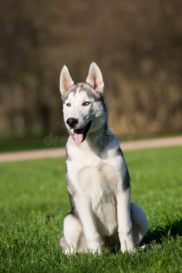Husky puppy stock images