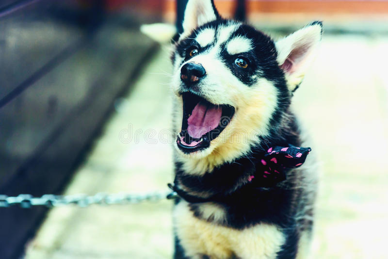 Husky puppy angry because chained stock images