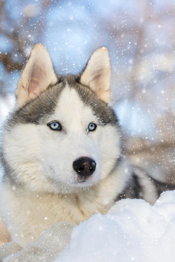 Husky puppy with blue eyes lying. On the snow stock image