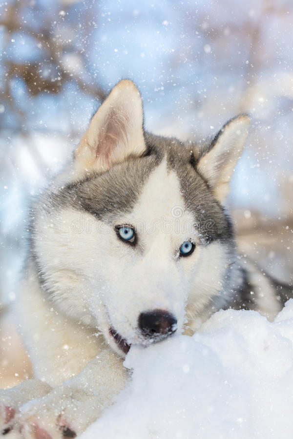 Husky puppy with blue eyes lying. On the snow stock photography