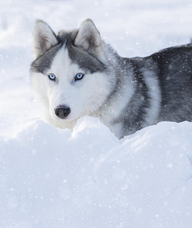 Husky puppy with blue eyes. Lying on the snow stock photography