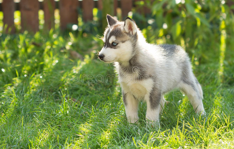 Husky puppy in the grass royalty free stock photo