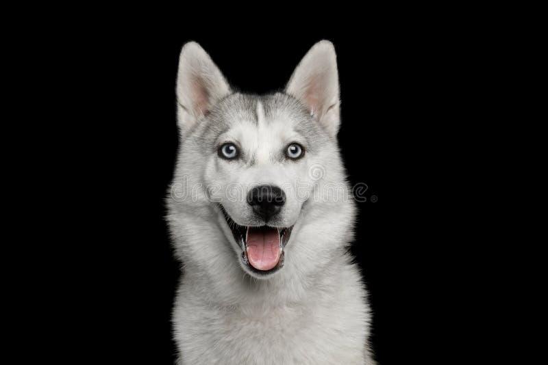 Husky Puppy Isolated på svart bakgrund royaltyfria bilder