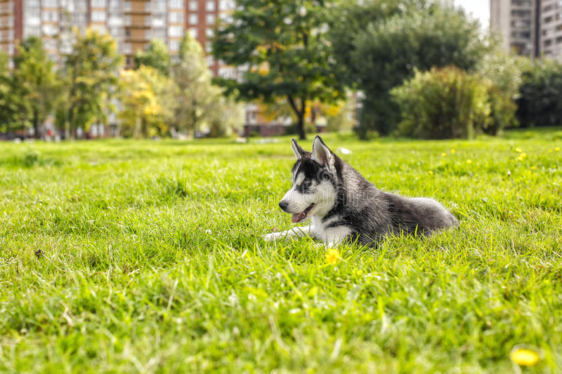 The husky puppy laying in the grass royalty free stock photography