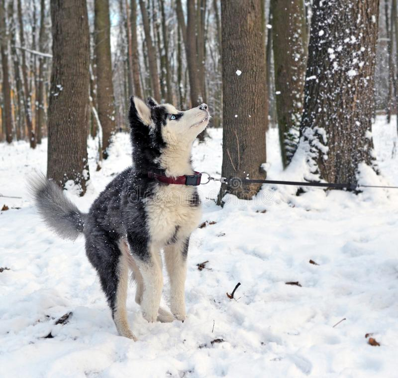 Husky puppy playing with snow 1 stock image