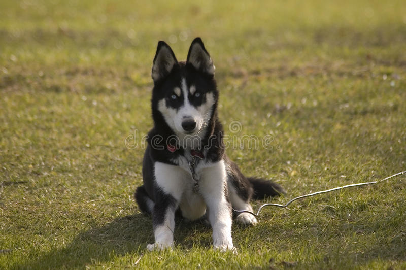 Husky puppy sitting down royalty free stock image
