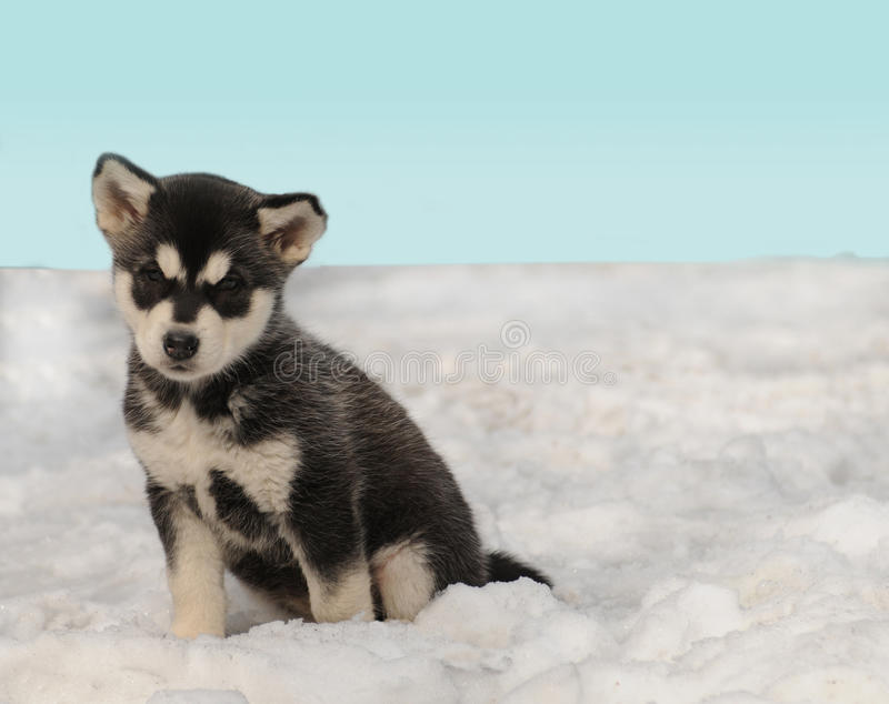 Download Husky puppy on the snow stock image. Image of cold, sunny - 20937213