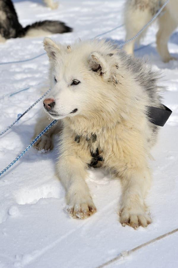 Husky Puppy som ner ligger i snö royaltyfria bilder