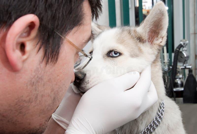 Husky puppy at vet stock photo