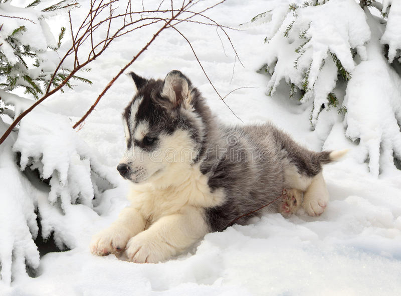 Download Husky Puppy In A Winter Forest Stock Photo - Image of cute, black: 48276918