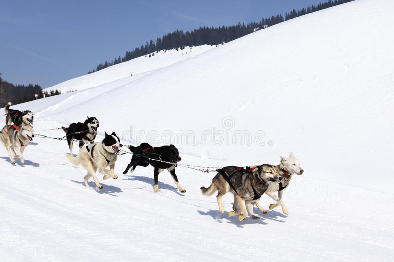 Husky race stock photos